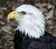 Bald Eagle Side View Royalty Free Stock Photos