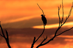 Bald Eagle in Silhouette Royalty Free Stock Photography