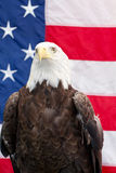 Bald Eagle sitting with  the American Flag Royalty Free Stock Image