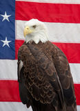 Bald Eagle sitting with the American Flag 2 Stock Images