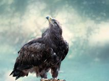 Bald eagle, sitting in blue bokehfull background stock images