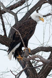 Bald eagle sitting on a branch Royalty Free Stock Images