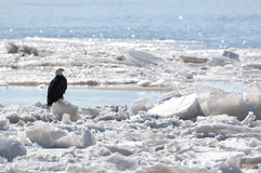 Bald eagle sitting on ice Stock Photos