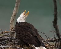 Bald eagle calls to its mate royalty free stock images