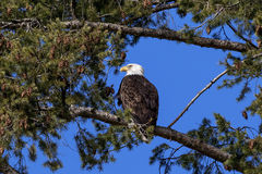 Bald Eagle sitting in a pine tree Stock Photo