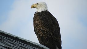 Bald Eagle. Sitting on a roof top stock video