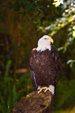Eagle sitting on a stump in the shade. A bald eagle sitting on a stump in the shade of an overhead tree canopy Stock Image