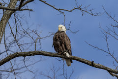 Bald Eagle sitting in tree Stock Photos
