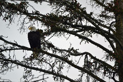 Bald Eagle sitting on a tree limb Royalty Free Stock Photography