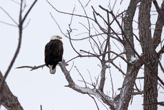 Bald Eagle. A bald eagle sitting in a tree in the winter in Iowa stock photo