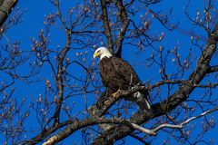 Bald Eagle sitting in a tulip tree Royalty Free Stock Photos