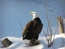 Bald eagle on snow. Wild bald eagle on snow with magnificient morning light on the eye Stock Image