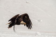 Bald eagle in the snow. A bald eagle flies above snow Stock Image