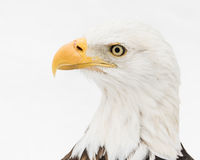 Bald Eagle in Snow II Stock Photos
