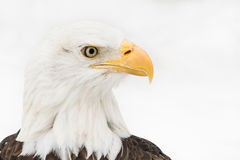 Bald Eagle in Snow III Royalty Free Stock Images