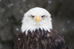 Bald Eagle in Snow IV Royalty Free Stock Photography