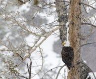 Bald eagle snow storm Stock Photos