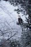 Bald Eagle in Snow Storm royalty free stock photos