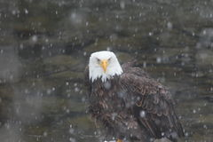 Bald Eagle in snowstorm. A Bald eagle sits along a river in a snowstorm in Idaho Royalty Free Stock Photography