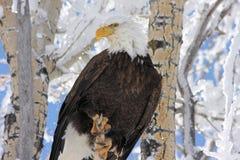Bald Eagle Snowy Tree Background Stock Photo
