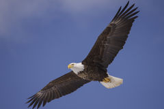 Bald eagle soar. A bald eagle soars against a blue sky in Cape Breton Nova Scotia Canada Royalty Free Stock Photos