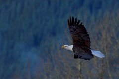 Bald Eagle soaring Stock Photos