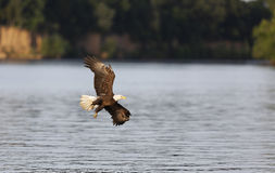 Bald Eagle Soaring Royalty Free Stock Images