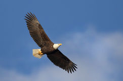Bald Eagle Soaring. With blue sky background Royalty Free Stock Photo