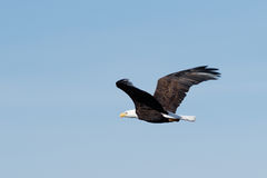 Bald eagle soaring Royalty Free Stock Photos