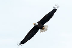 Bald eagle soaring Royalty Free Stock Image