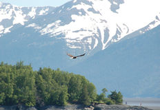 Bald Eagle soaring in front of snowy mountain Stock Photo