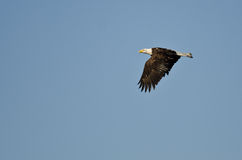 Bald Eagle Soaring High in a Clear Blue Sky Royalty Free Stock Photo