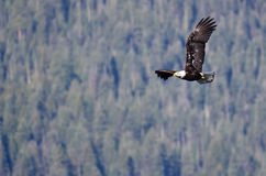 Bald Eagle Soaring High in the Mountains Stock Images