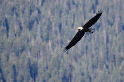 Bald Eagle Soaring High in the Mountains Royalty Free Stock Images
