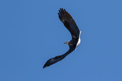 Bald Eagle soaring and hunting in the blue sky Stock Photo
