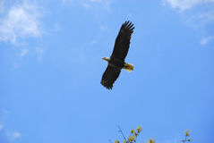 Bald Eagle Soaring. A North American bald eagle flying over tree tops.  Photo taken in Wayne, New Jersey on May 1, 2015 Stock Images