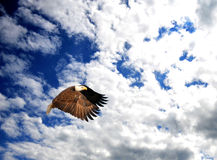 Bald Eagle soaring in the sky. Bald Eagle (Haliaeetus leucocephalus) soaring in a blue cloud filled sky Stock Photography
