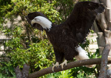 Bald eagle spreading her wings. Bald eagle Haliaeetus leucocephalus at the San Antonio Zoo. Named for its white head, this bird of prey is the symbol of the Royalty Free Stock Image