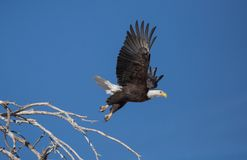 Bald eagle taking off from perch in dead tree. A bald eagle spreads it`s wings wide as it launches into the air from it`s perch atop a dead tree stock image
