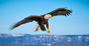Flying Bald Eagle, Homer, Alaska. A bald eagle spreads it wings as it prepares to land near Homer, Alaska on the Kenai Peninsula royalty free stock images