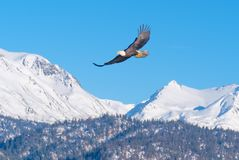 Bald Eagle, Snow-Capped Mountains, Alaska. A bald eagle spreads it wings and soars high above the snow-capped mountains near Homer, Alaska on the Kenai Peninsula royalty free stock photo