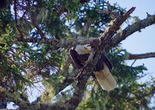 Bald eagle on a spruce branch pecking at something by its talons. Great Bear Rainforest, British Columbia stock photo
