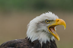 Bald eagle squeaking Royalty Free Stock Photography