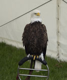Bald Eagle on Stand Royalty Free Stock Image