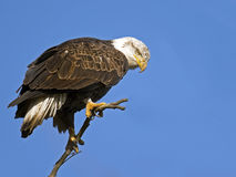 Bald Eagle. Standing on a branch against blue sky royalty free stock photos
