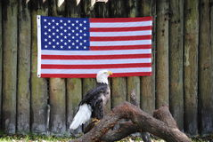 Bald eagle standing in front of the American flag. Wounded bald eagle standing on a branch in front of a American Flag Royalty Free Stock Images