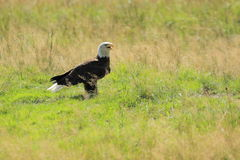 Bald eagle. Standing on the grass Stock Photo