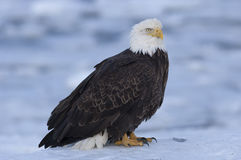 Bald eagle standing on ice in bay in Homer, Alaska Stock Images