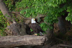 Bald Eagle standing on log stock photos
