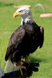 Bald Eagle standing on a man's hand Royalty Free Stock Photos